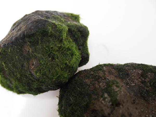 岩にくっついて育つ着生型マリモ