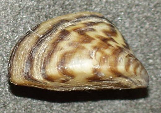 ゼブラ貝の写真