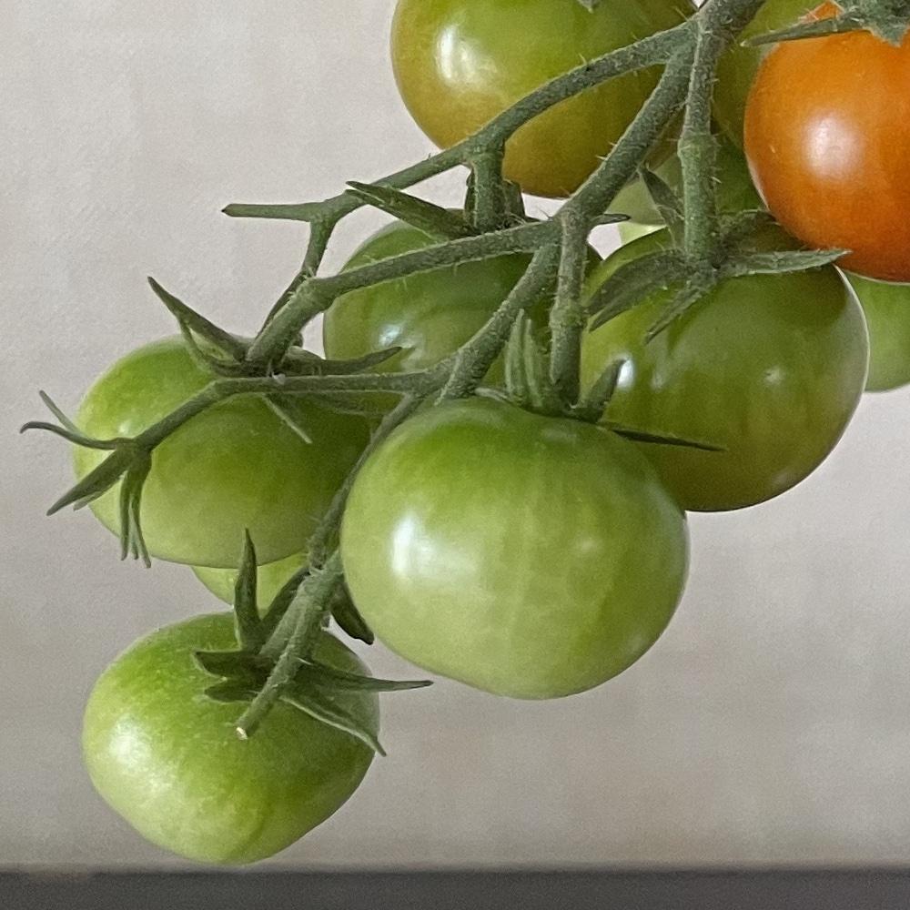 マリモに似ている未熟な緑のトマト
