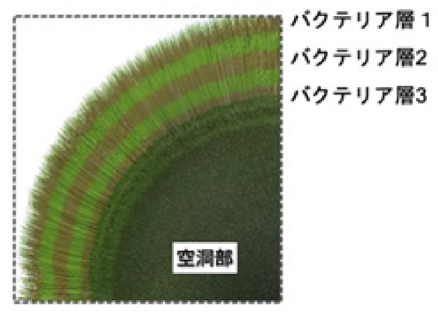 マリモ内部の細菌層