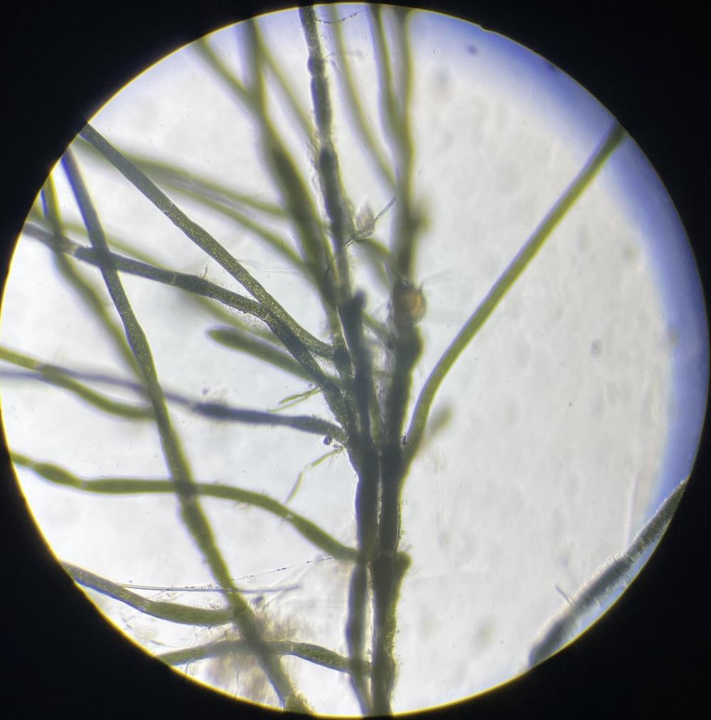 海外産輸入マリモの細胞の拡大写真